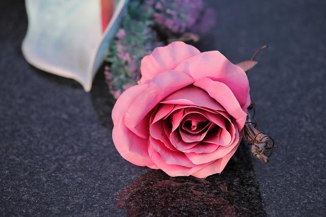 pink-rose-5585034_640